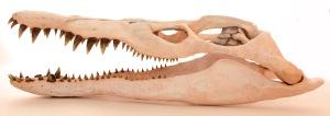 Tone Hitchcock plesiosaur skull