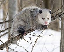 North American opossum
