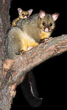 Australasian possum
